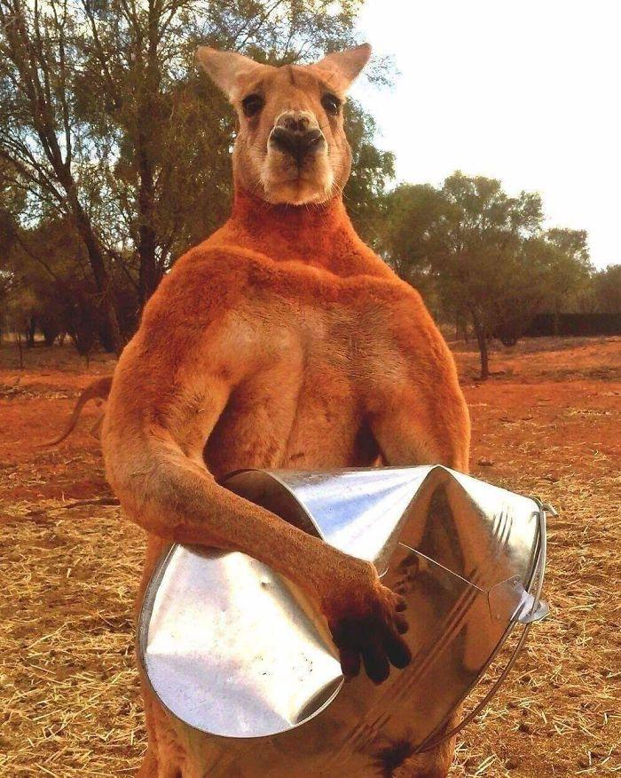 animals that look evil muscular kangaroo