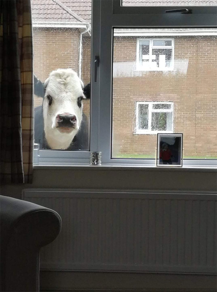 animals that look evil peeping cow