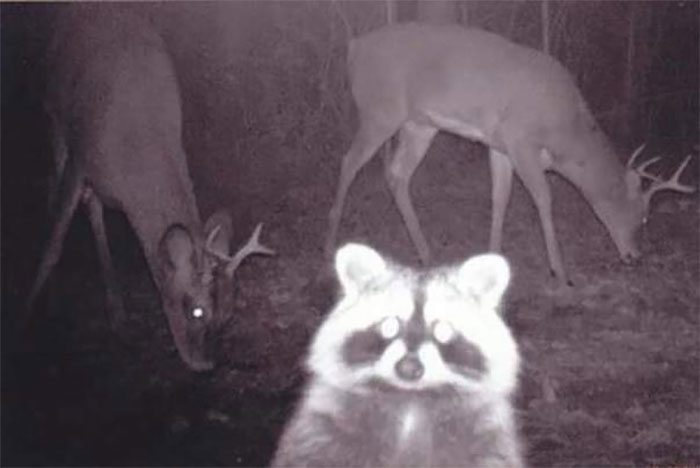 animals that look evil racoon deers