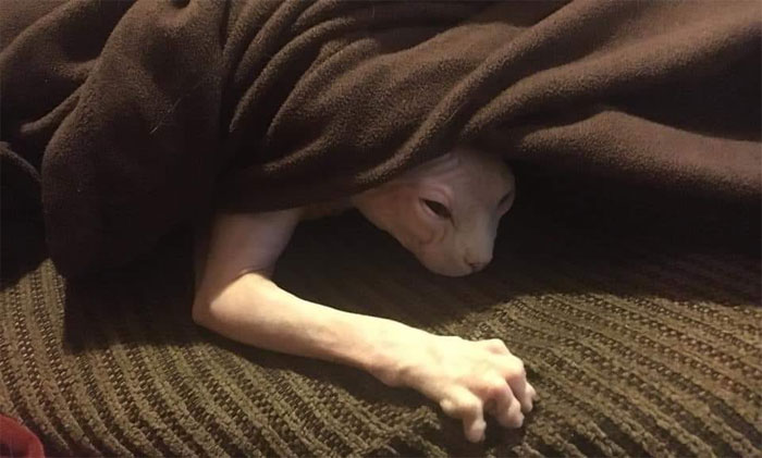 animals that look evil sphynx cat under blanket