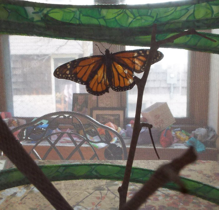 butterfly wing repair transplant first attempt successful