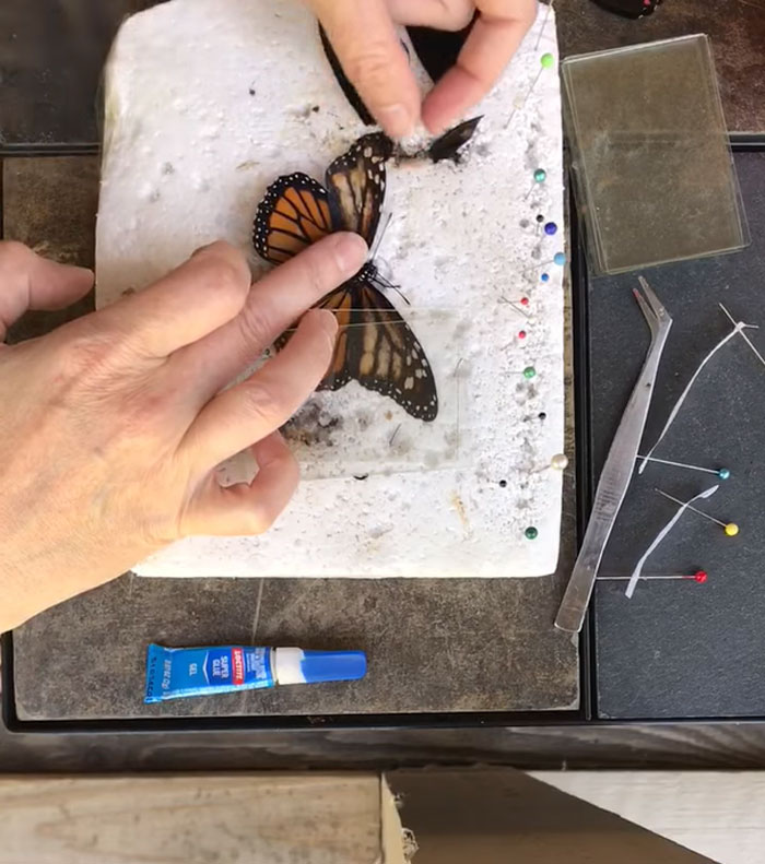 butterfly wing repair transplant first step procedure