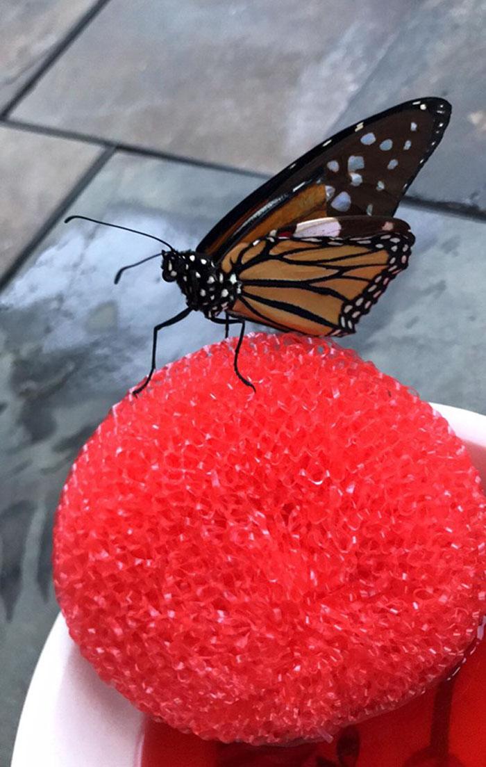 butterfly wing repair transplant procedure