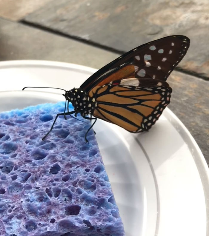 butterfly wing repair transplant regaining strength