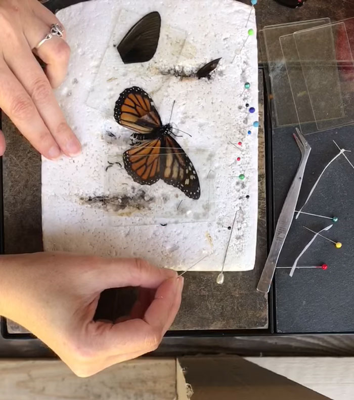 butterfly wing repair transplant second step procedure