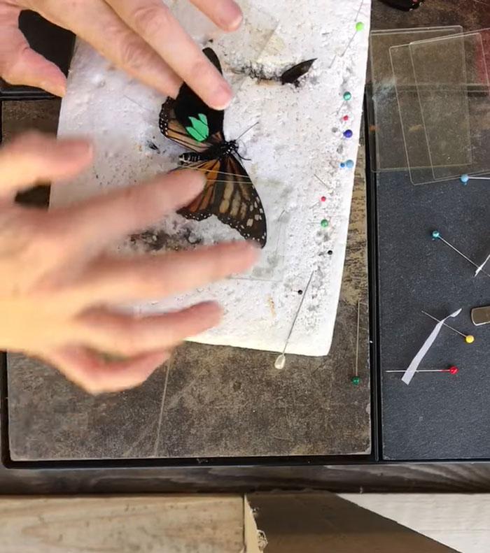 butterfly wing repair transplant third step procedure