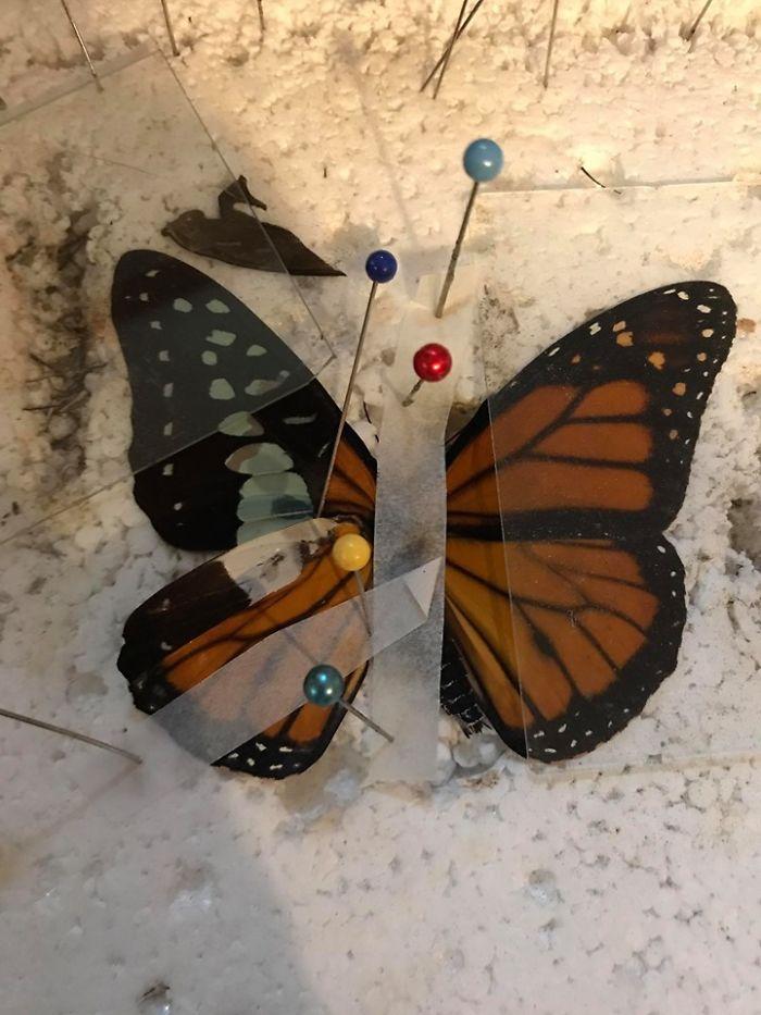 butterfly wing repair transplant