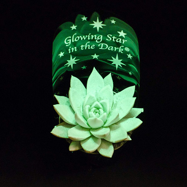 glowing star in the dark succulent