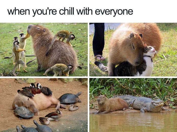 happiest animal memes friendly capybara