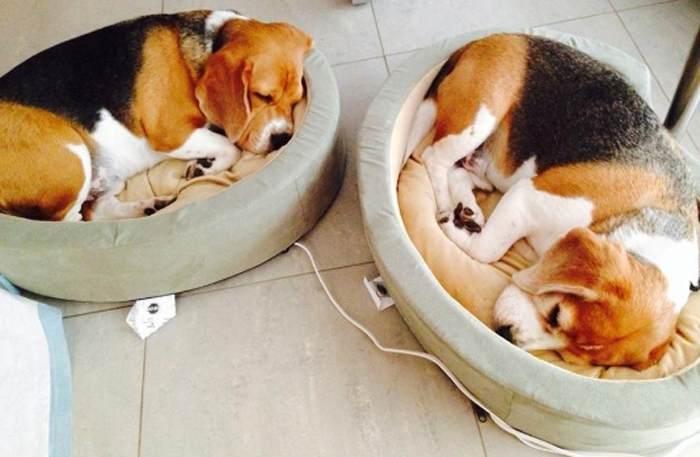 heated pet bed beagles