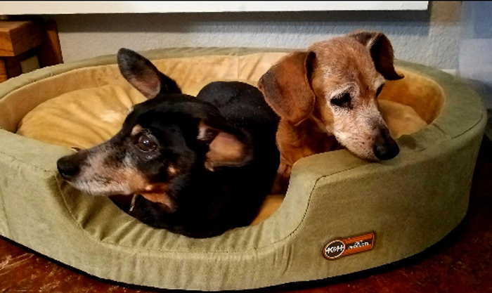 heated pet bed two dachshunds