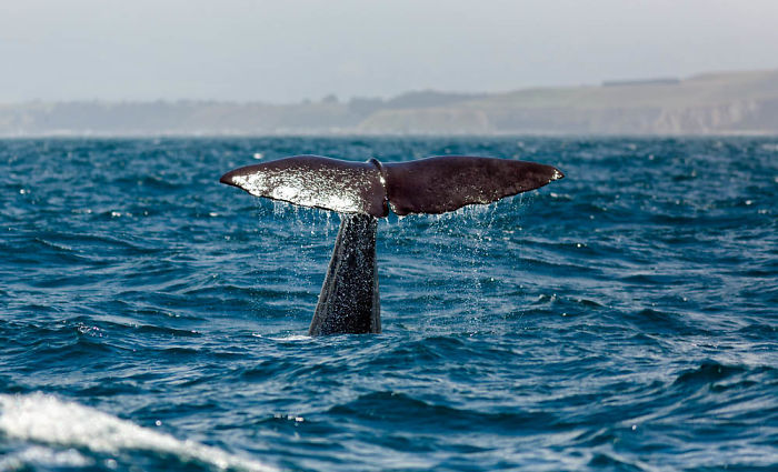 interesting animal facts caribbean sperm whale accents