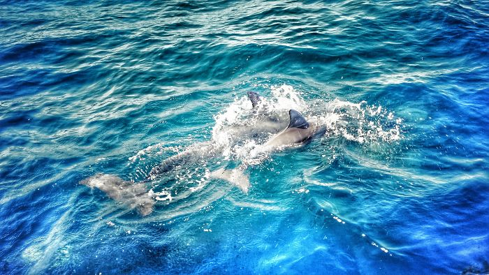 interesting animal facts dolphin mothers sing