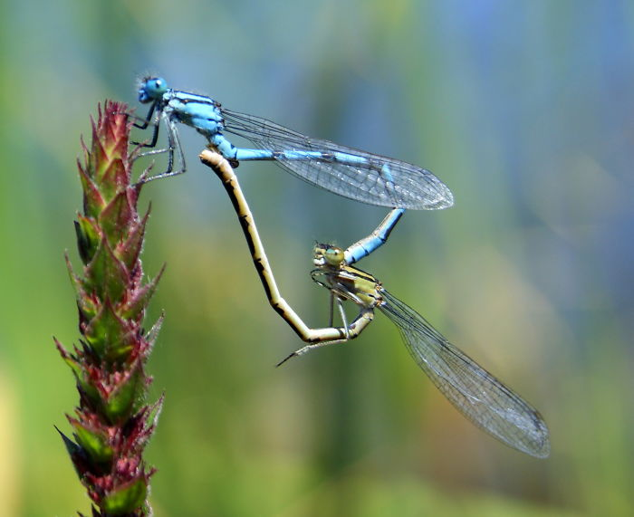 interesting animal facts dragonflies forming heart