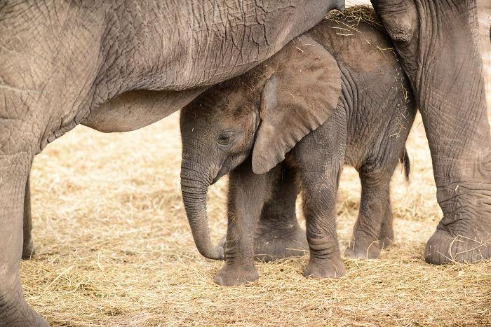 interesting animal facts elephant birth trumpet