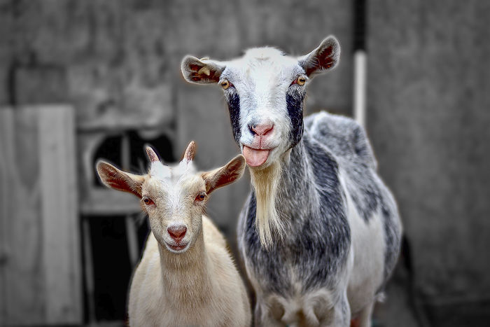interesting animal facts goats accent