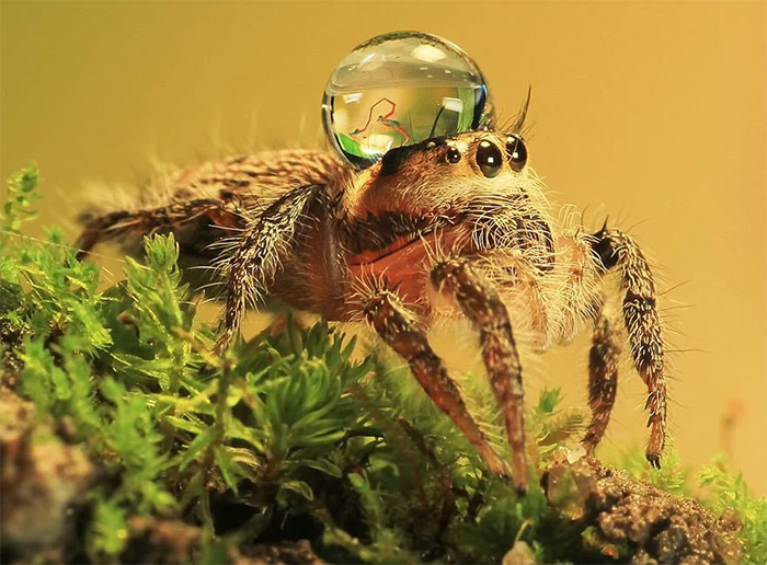 interesting animal facts jumping spider water droplet hat