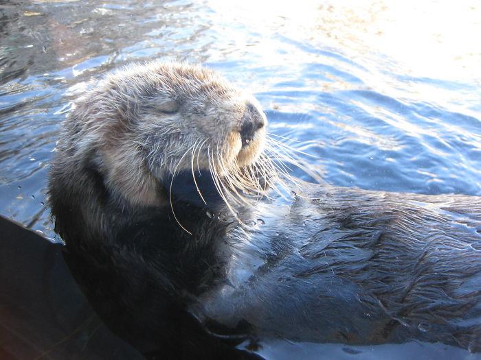 interesting animal facts otter pebble juvenile