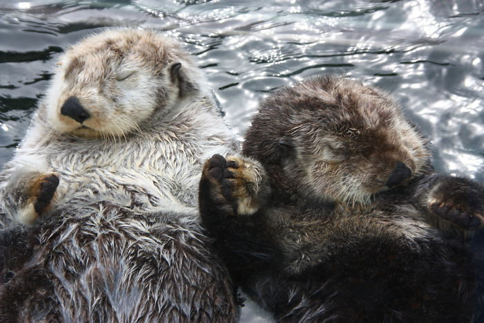 interesting animal facts otters holding hands while sleeping