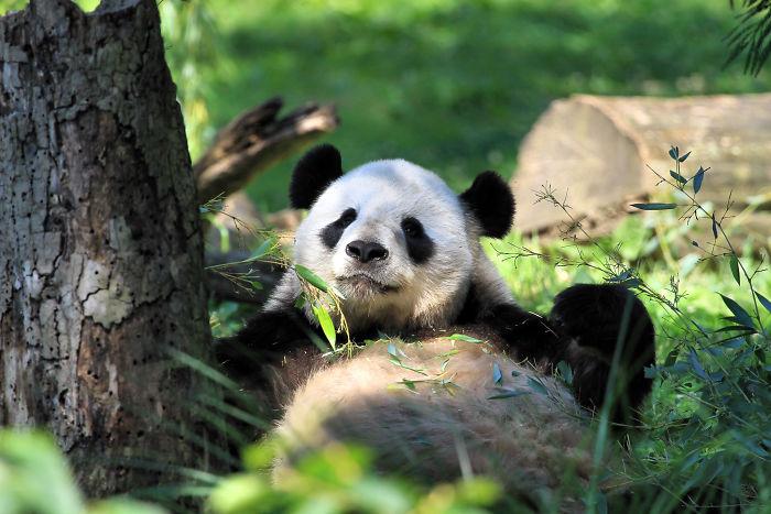 interesting animal facts panda population increasing