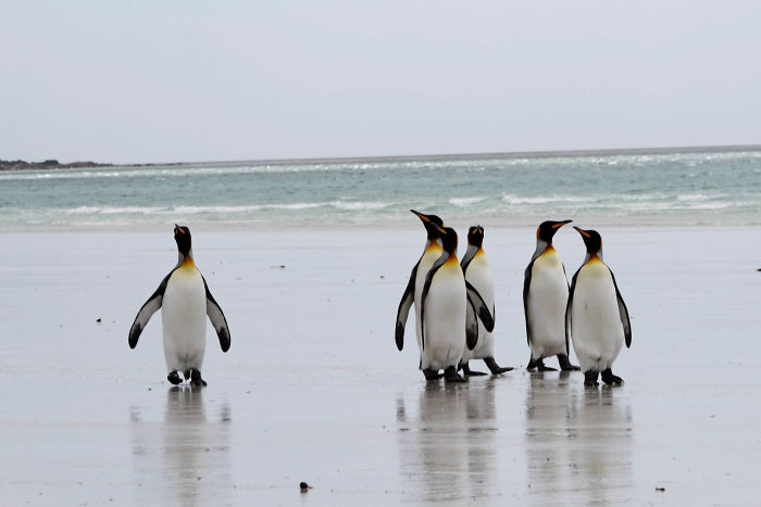interesting animal facts penguin sanctuary minefield