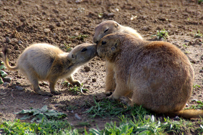 interesting animal facts prairie dogs hello