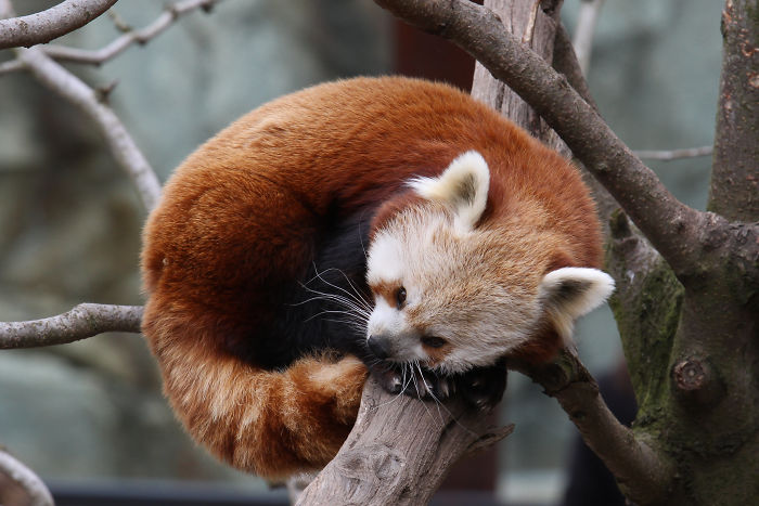 interesting animal facts red pandas fluffy tail blankets