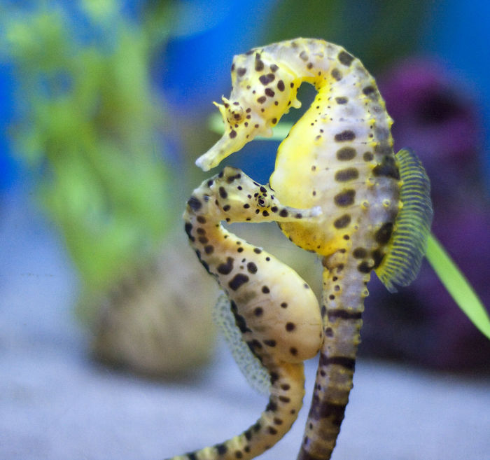 interesting animal facts sea horses get married