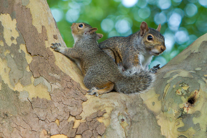 interesting animal facts squirrels adoption