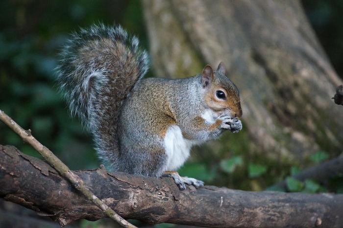 interesting animal facts squirrels burying seedlings