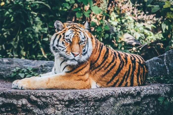 interesting animal facts tiger increasing population