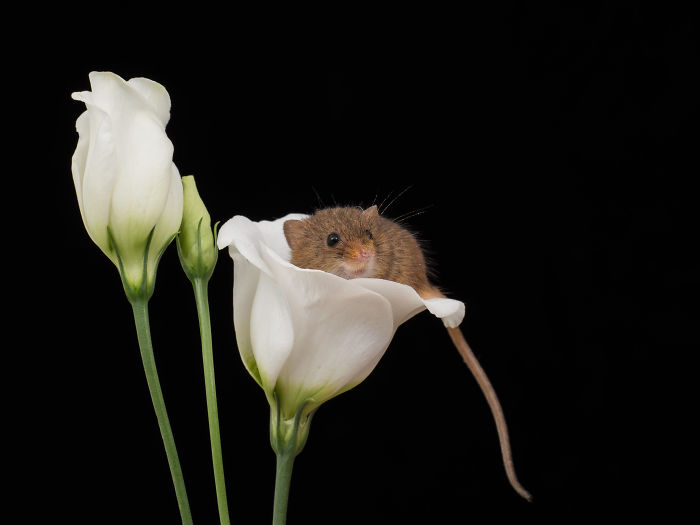 interesting animal facts tiny mice