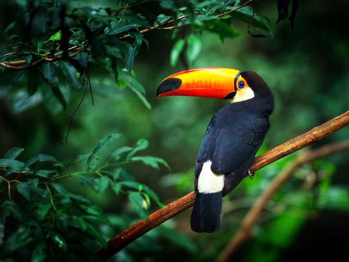 interesting animal facts toucans curl like ball