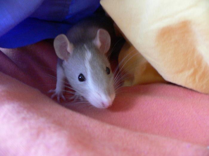 rats playing hide and seek david ascher