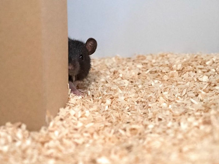 rats playing hide and seek humboldt