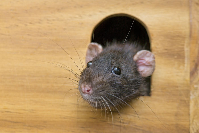 rats playing hide and seek tambako peeps out of a window