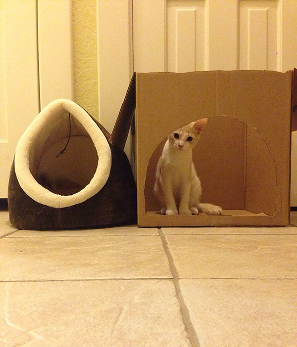 Cat Inside a Box Instead of Its Bed
