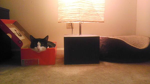Cat Inside a Nike Shoebox