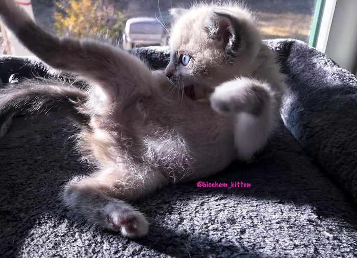 Gray Kitten Licking Its Body