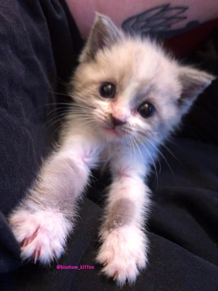 Gray Kitten with Arms Stretching Forward