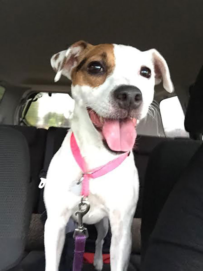 Jack Russell Terrier Named Nyx Sitting at a Car's Backseat