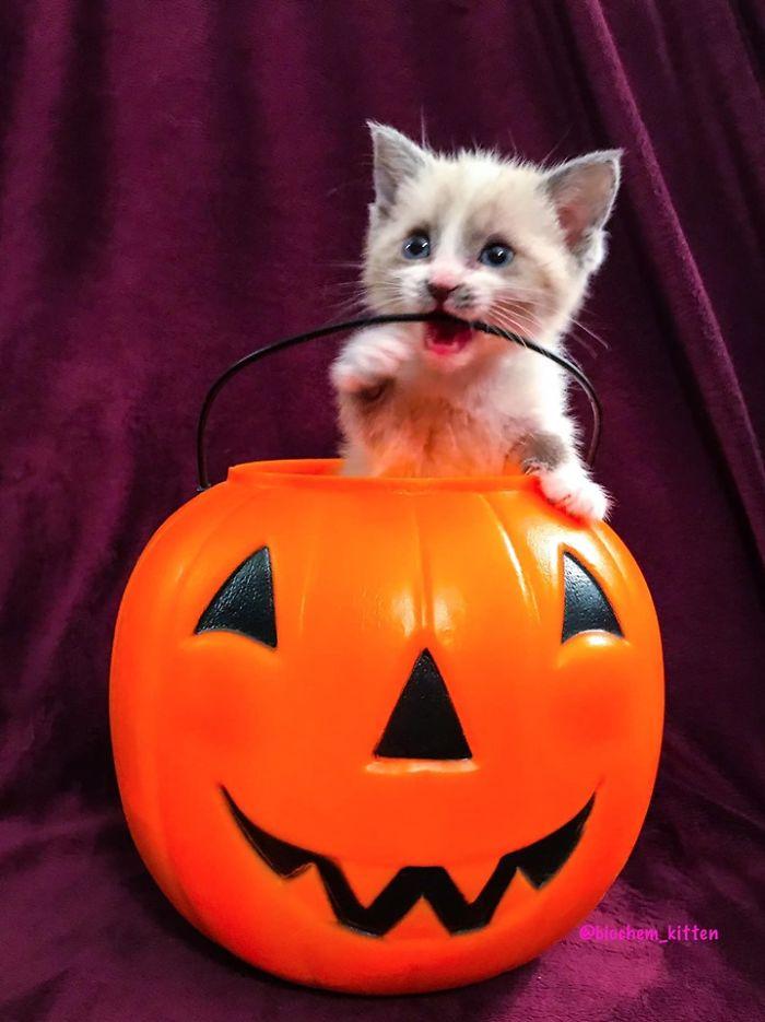 Kitten Inside a Pumpkin Basket while Biting Its Handle