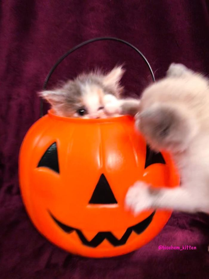 Kitten Inside a Pumpkin Basket with Another Kitten Playing with It