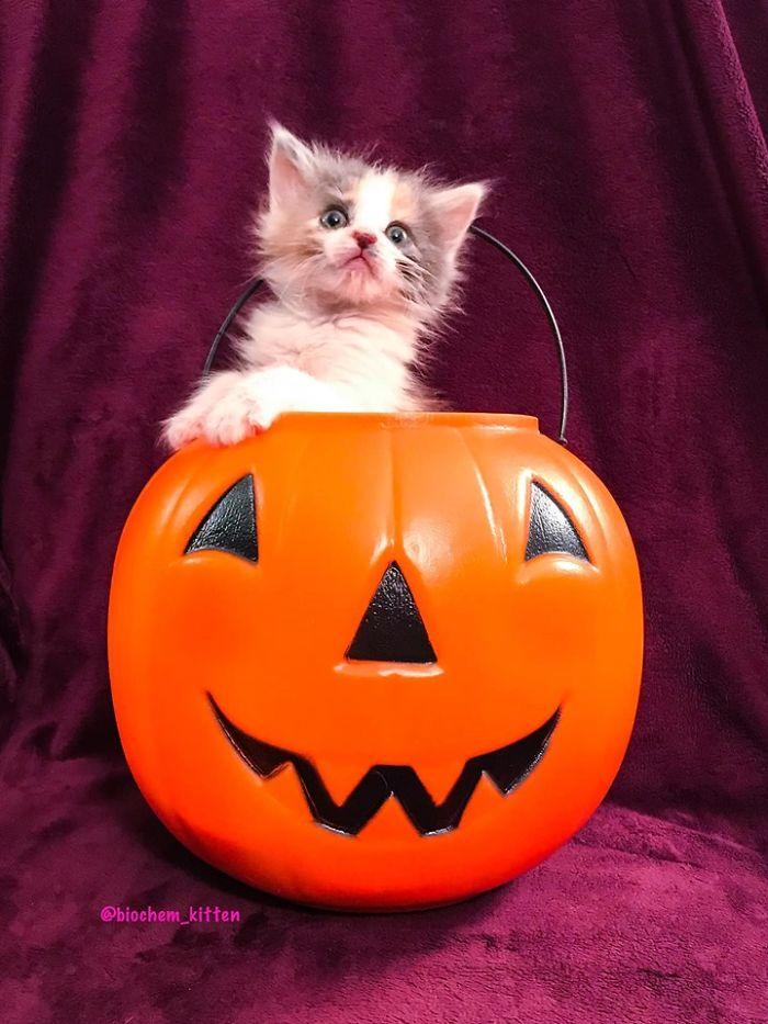 Kitten Standing Inside a Pumpkin Basket