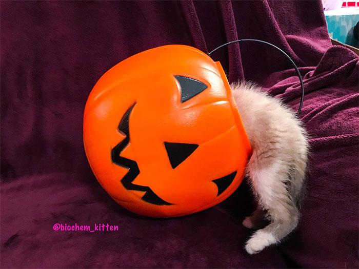Kitten with Its Head Inside a Pumpkin Basket
