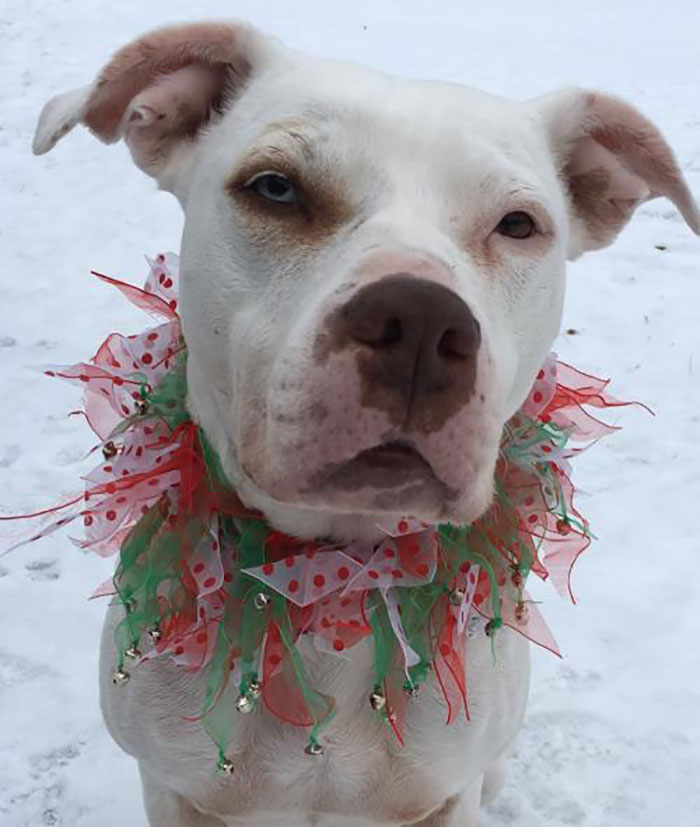 Pit Bull Terrier Mix Named Virginia with Christmas-themed Collar