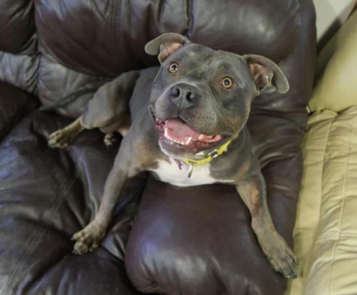 Staffordshire Bull Terrier Named Jensen on Couch