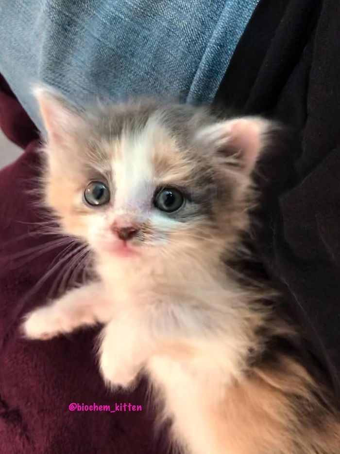 White Kitten with a Few Gray and Brown Fur on Body