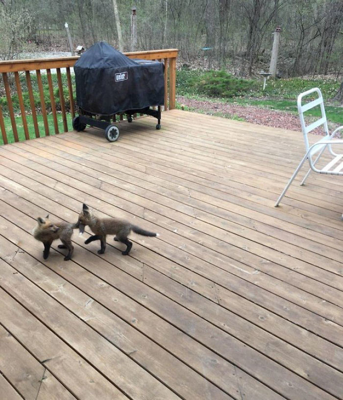 baby foxes playing on the porch