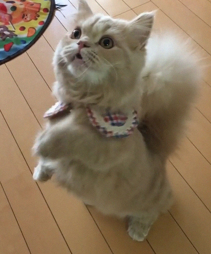 bell the cat standing on hind legs
